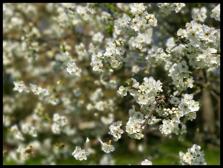 Flowers Flower Growth Nature No People Tree Outdoors Blossom Garden Fere En Tardenois France Day Branch