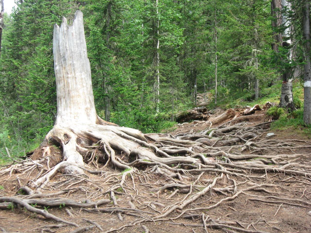 Страж тайги. Nature сибирь No People Природа Green Color взаимнаяподписка Beauty In Nature Россия Forest Tree