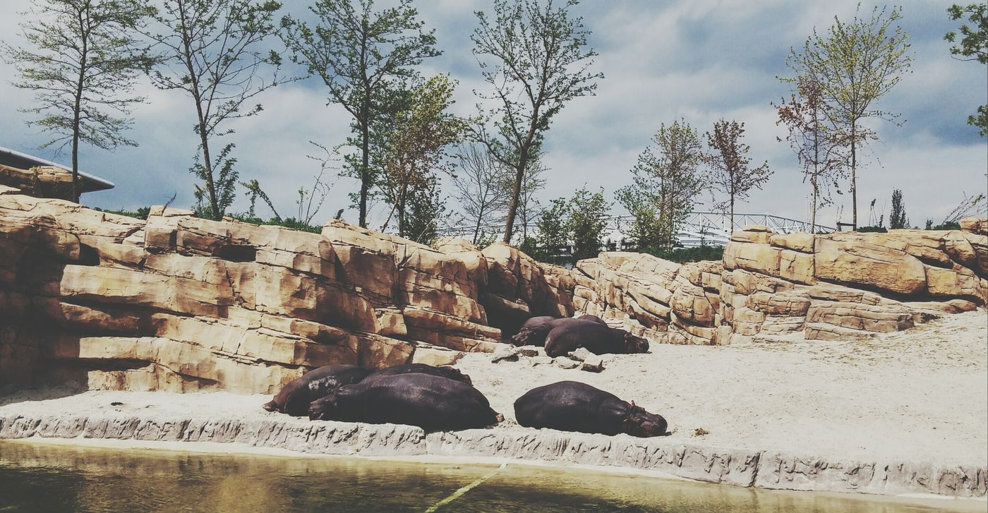 Hippos chilling at Wildlands in Emmen Netherlands ❤ EyeEmNewHere Nature Tree Cloud - Sky Day No People Animal Wildlife Mammal Sky Animal Themes Hippo Hippos Zoo ZooLife Sunbathing Sunbathing☀ Sunny EyeEmNewHere