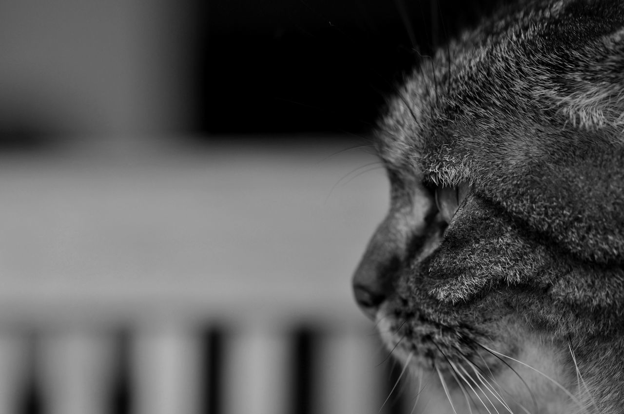 Tigrette Animal Body Part Animal Themes Black & White Black And White Black And White Collection  Black And White Photography Black&white Blackandwhite Blackandwhite Photography Blackandwhitephotography Cat Cat Lovers Cats Cats Of EyeEm Cat♡ Chat Close-up Domestic Animals One Animal Pets Animals Animal Animal Photography