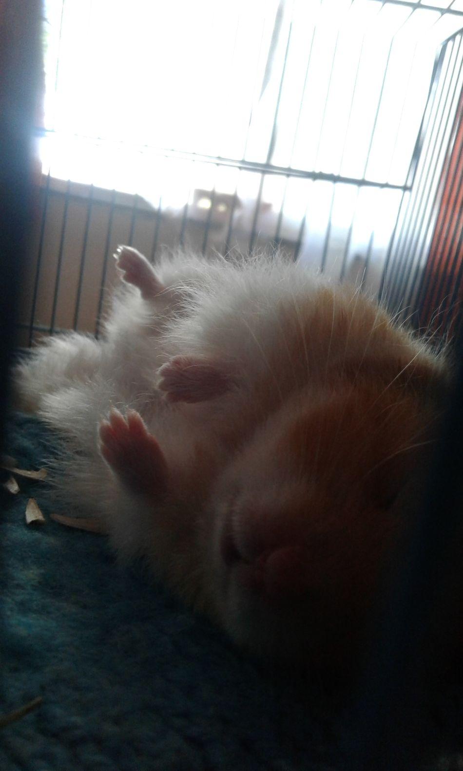 You look so cute my little baby♡ sweet dreams (=^u^=) Hamster Sleep Dreams Cute Sweet Animal Pet Family Sweet Dreams Beautiful Wonderful Without Filters Hermosa Mascota Dormir Dulces Sueños