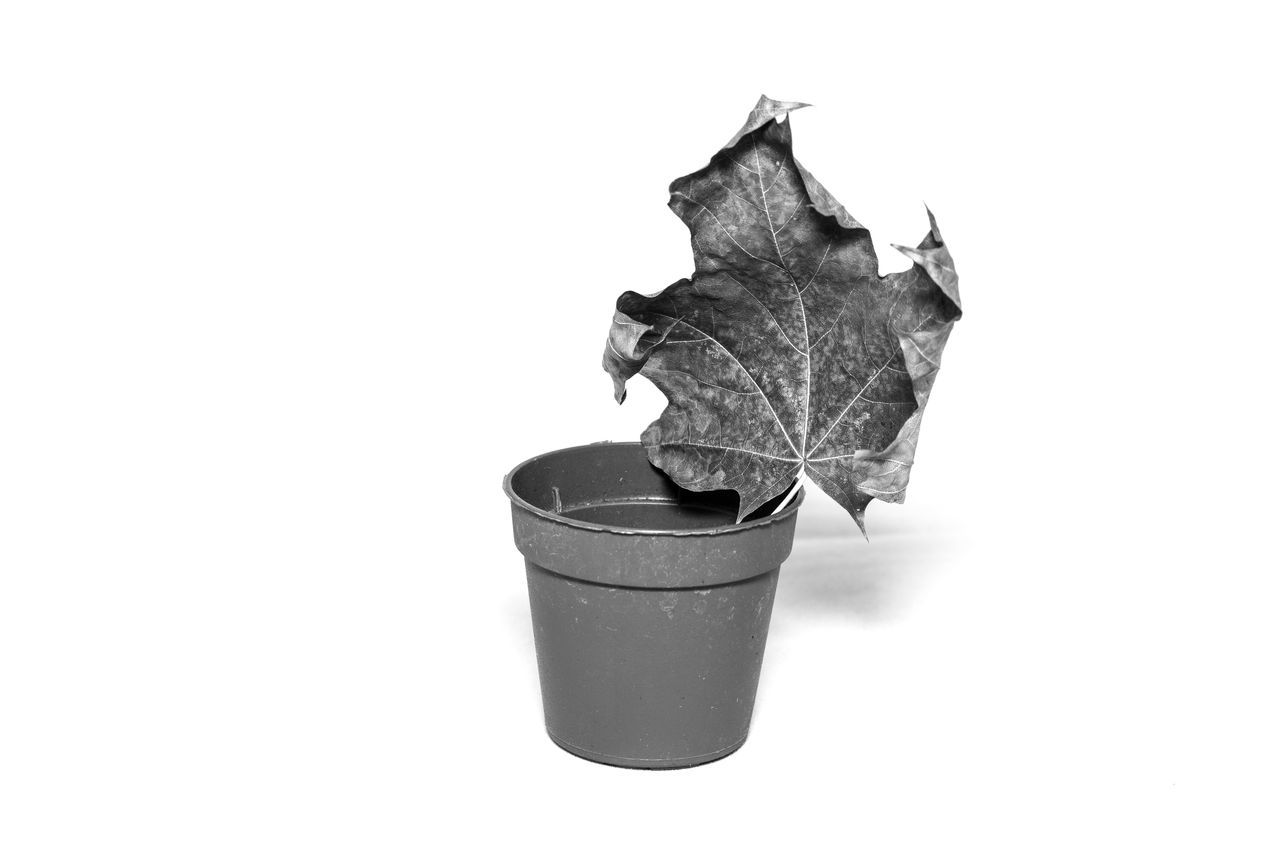 white background, leaf, studio shot, dry, no people, autumn, close-up, nature, maple, day