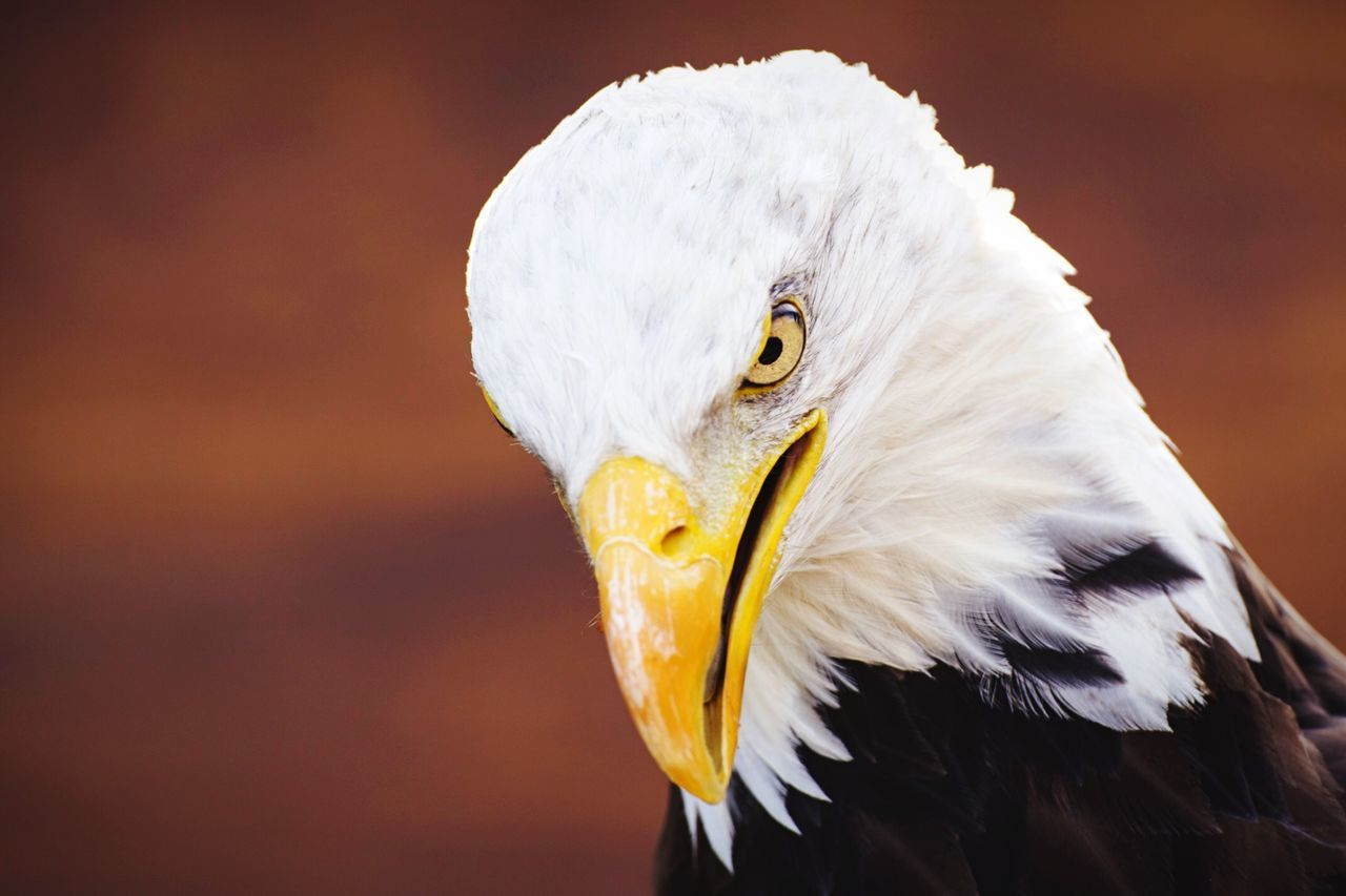 Beautiful stock photos of bald eagle, Animal Head, Animal Themes, Bird, Day