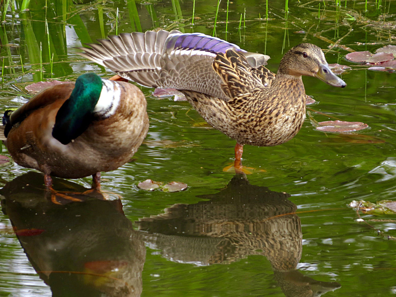 Acrobats Animal Photography Animal Themes Couple Mallard Duck Mallards On One Leg Outdoors Water Reflections