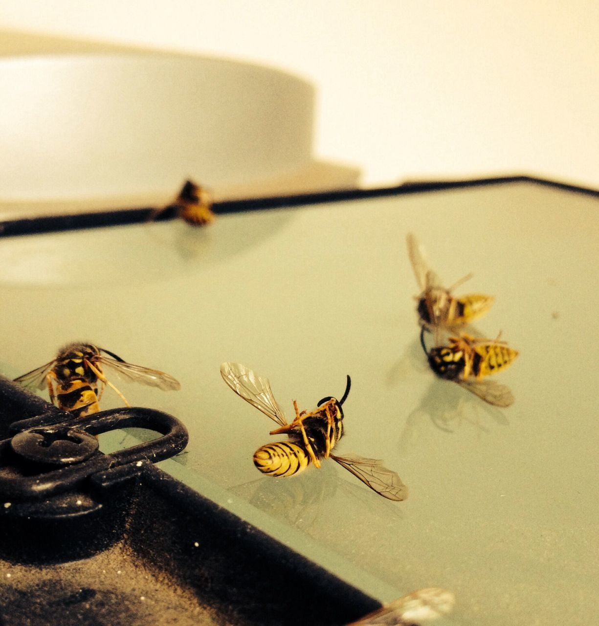 Dead Wasps On Table