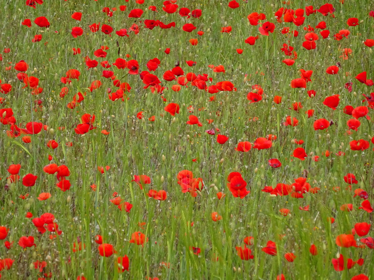 flower, growth, freshness, red, fragility, beauty in nature, plant, nature, field, close-up, poppy, day, vibrant color, petal, springtime, full frame, garden, in bloom, abundance, blooming, flower head, wildflower, botany, outdoors, green color, tranquility, no people, formal garden, scenics