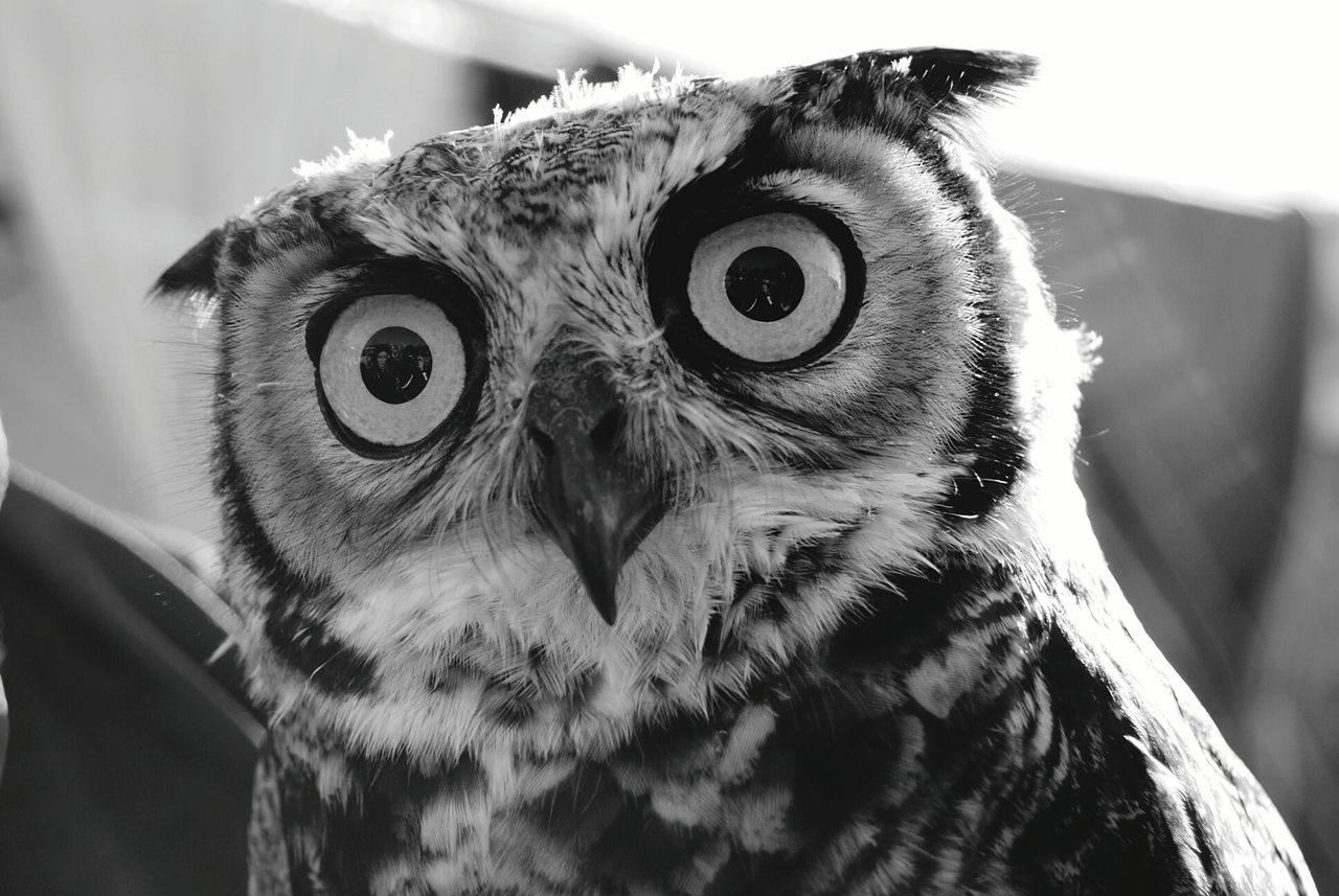 One Animal Animal Themes Animal Wildlife Animal Animal Photography Animal Portrait Portrait Bird Bird Of Prey Owl Yellow Eyes Day Outdoors Nature Nature_collection Nature Photography Naturelovers Owl Eyes 3XSPUnityEyeEm Best Shots - Black + White Bw_collection BW_photography EyeEm Gallery Black&white Black And White Photography