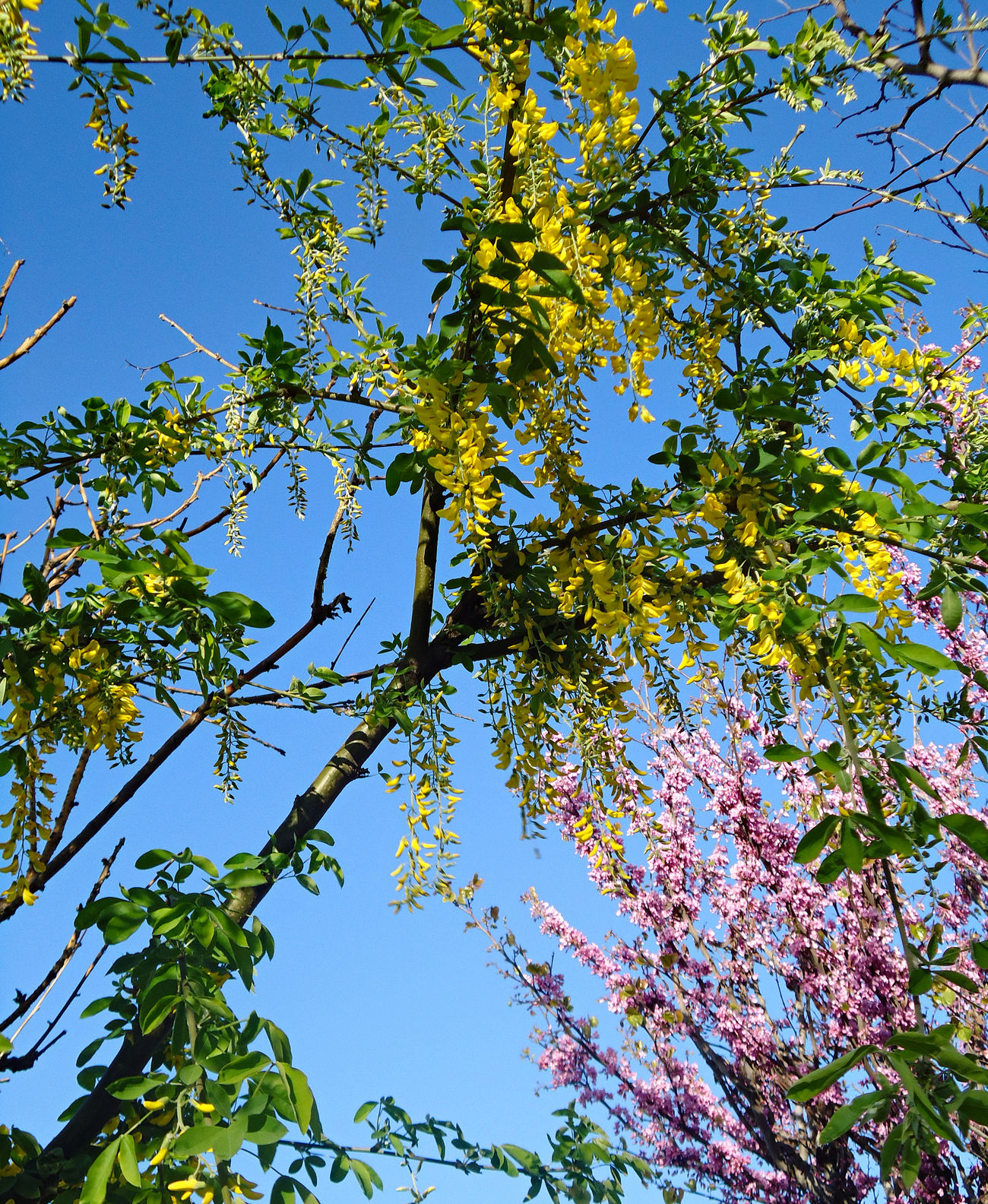 Cercis siliquastrum & Yellow Acacia. Acacia April Blooming Tree Blue Sky Branches Cercis Siliquastrum Flowerets Flowering Tree Freshness Golden Flowering Lilac Looking Up Pink-violet; Purple Spring Tree Yellow Acacia Yellow Flowering Yellow Flowering Tree Yellow Flowers Yellow-flowered