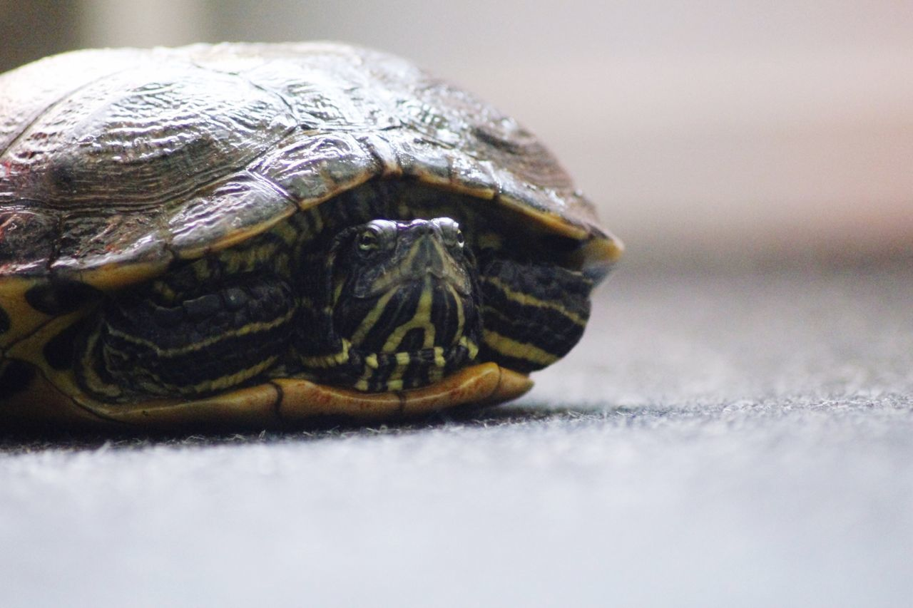 Beautiful stock photos of turtle, , Animal Shell, Animal Themes, Animals In Captivity