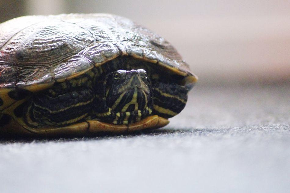 Beautiful stock photos of turtle, , Animal Shell, Animal Themes, Animals In Captivity