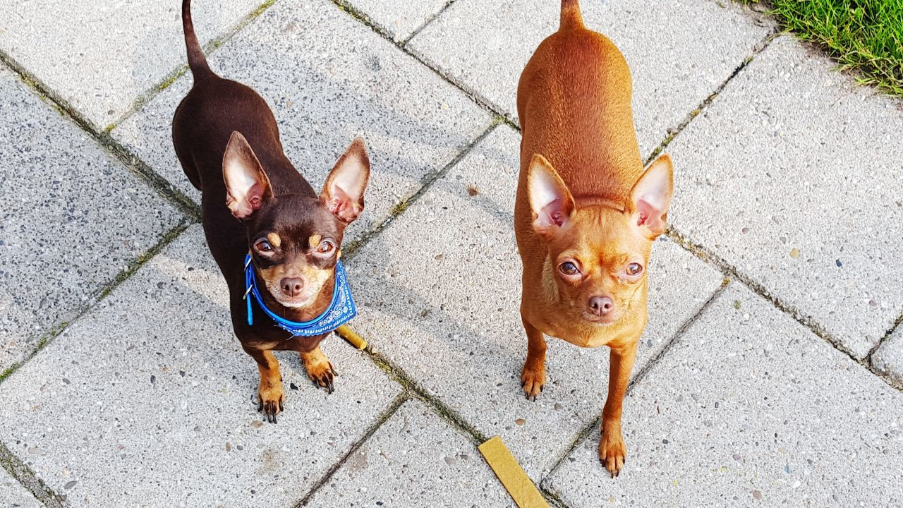 Beautiful stock photos of chihuahua, Animal Themes, Brown, Chihuahua - Dog, Day