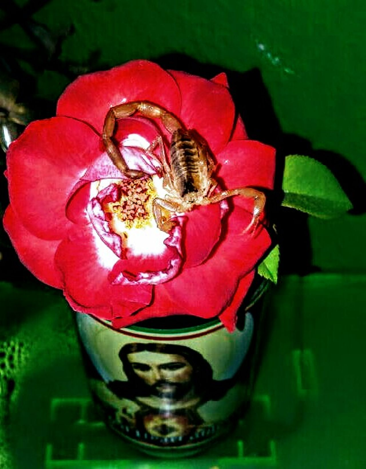 Caught a Scorpion. It passed away. So it became a model for this picture i shot for you all. On a red rose. In a empty candle holder on top of my aquarium. Insects  Scorpions Red Rose Beauty No People Insect Petal Red Nature Flower Close-up Plant Beauty In Nature Animal Themes Flower Head Freshness Day Outdoors Fragility Animal Wildlife Taking Photos Eyem Gallery Indoors  Indoors  Pic Of The Day