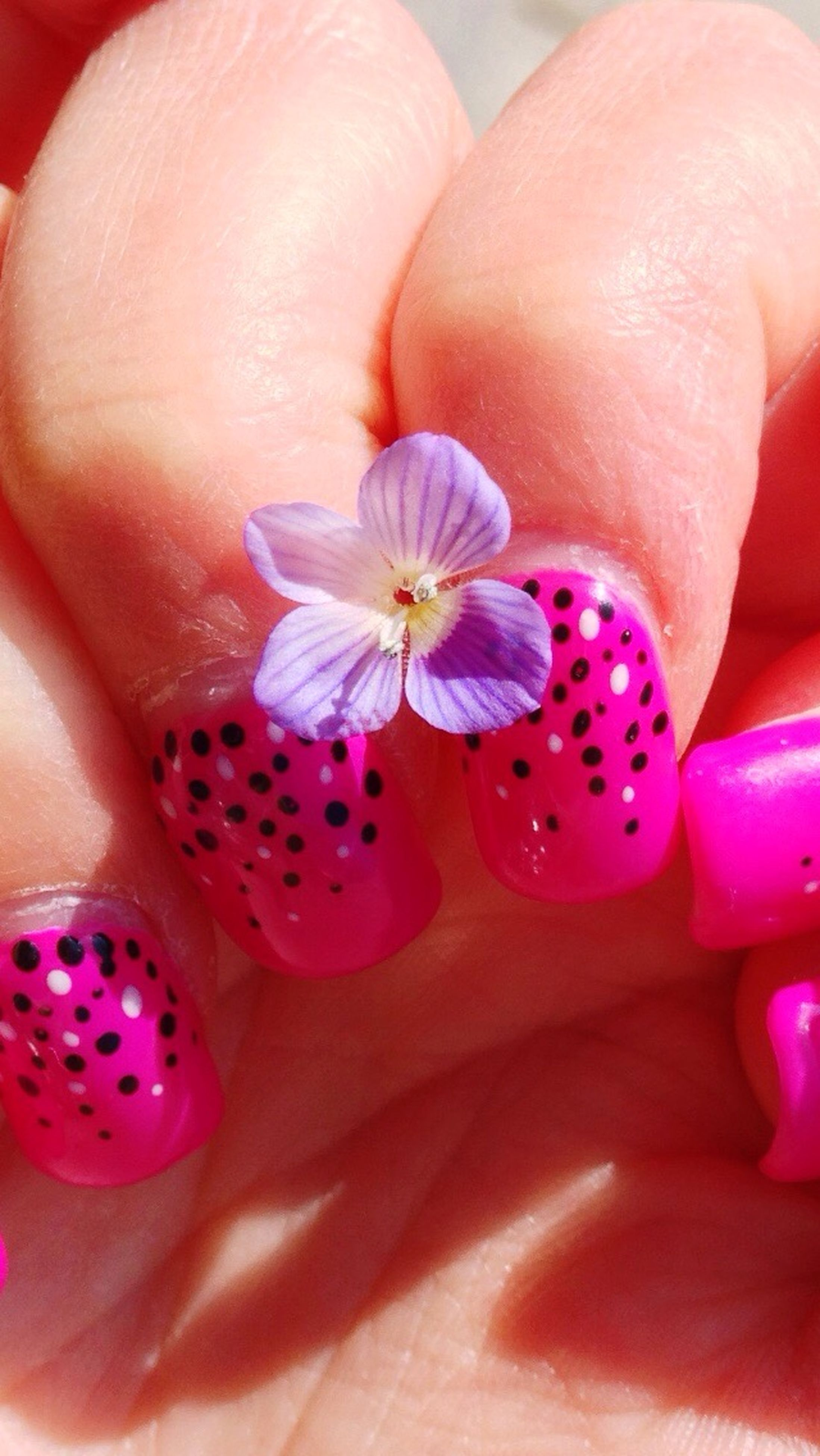 flower, person, petal, pink color, close-up, fragility, freshness, part of, indoors, high angle view, multi colored, flower head, purple, cropped, human finger, holding, pink