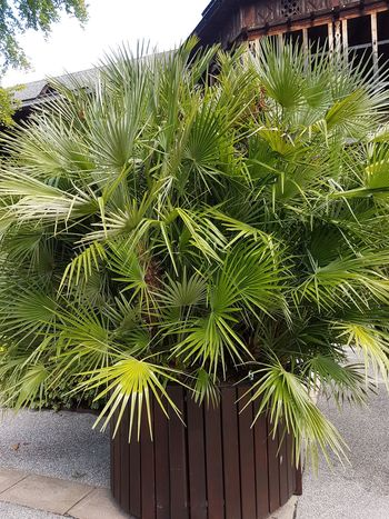 Plant Growth Green Color Outdoors Day Nature Tree Close-up Palm Tree