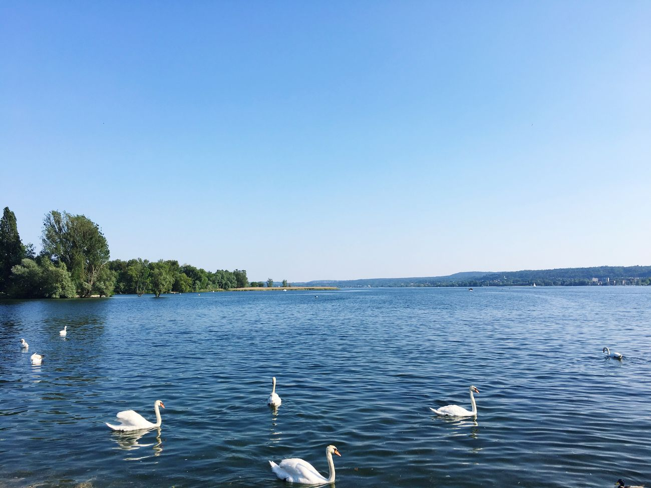 Sunny Italy Angera Animals In The Wild Swan Lake Water Bird Water Bird Clear Sky Lago Maggiore, Italy