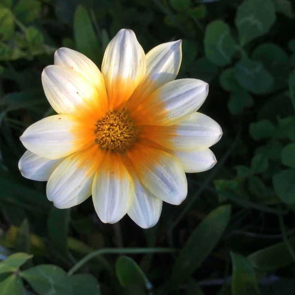 Flower White Flower Yellow Centered Flowers Natural Beauty