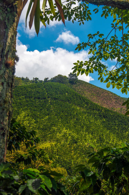 A view of the landscape in Colombia's coffee producing region. Beautiful Blue Bright Cloud Coffee Colombia Country Countryside Farm Green Hills Landscape Manizales Natural Nature Outdoors Quindío Risaralda Rural Scenic Sky South America Sunny Tree Trees