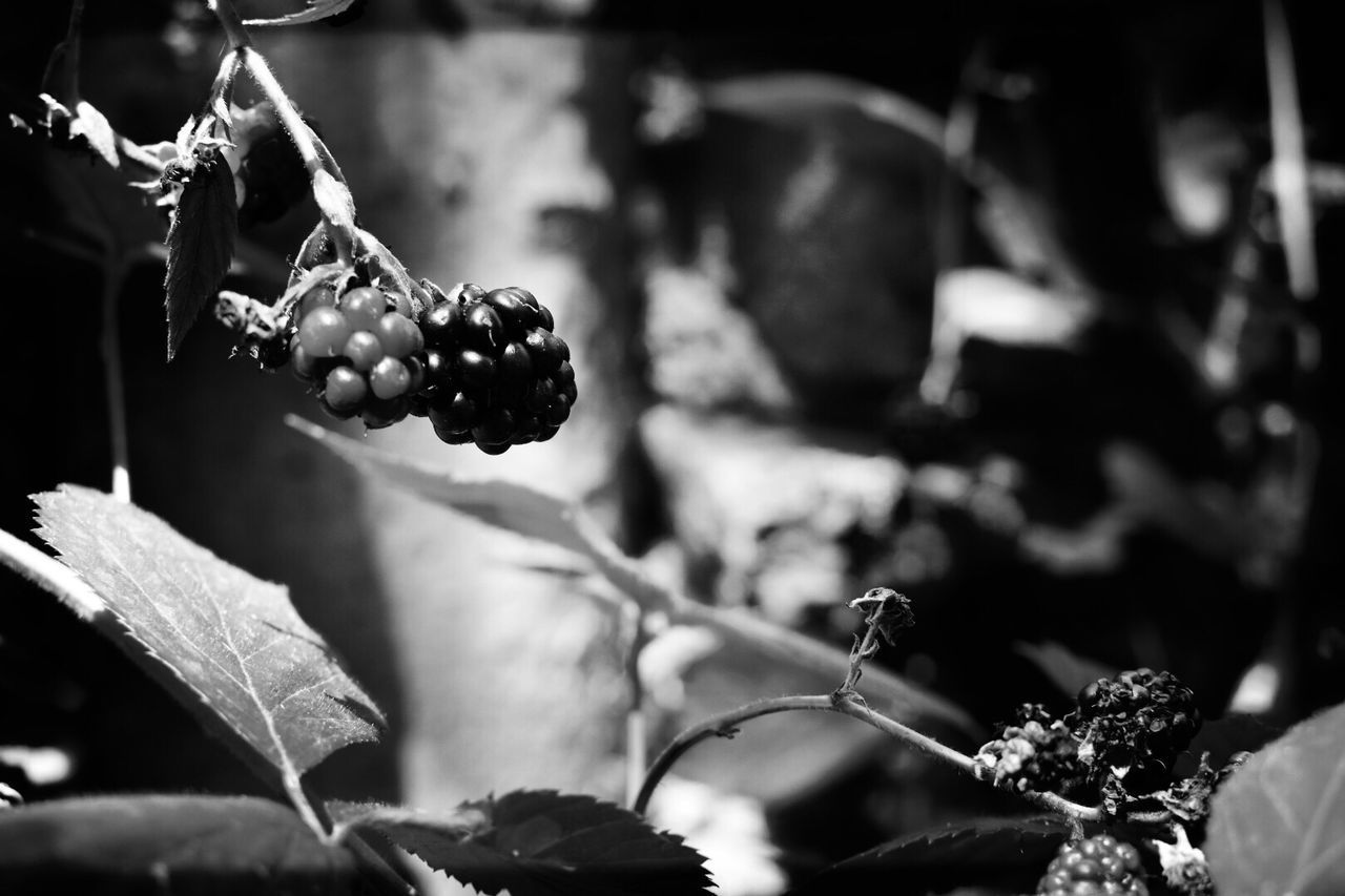 Berry season EyeEm Selects Focus On Foreground Food Freshness Nature Healthy Eating Beauty In Nature Close-up Blackandwhite Berry Outdoors Food And Drink