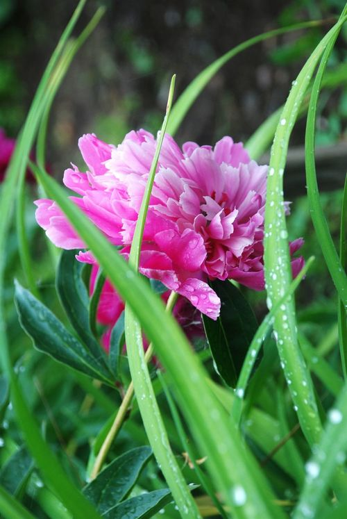 Flower Nature Summer Green Flowers Freshness Blossom Beauty In Nature Summertime Green Color Springtime Pink Color Flower Head Water PeonyBloom Peon Pink Peony Pink Blossoms Colors Color