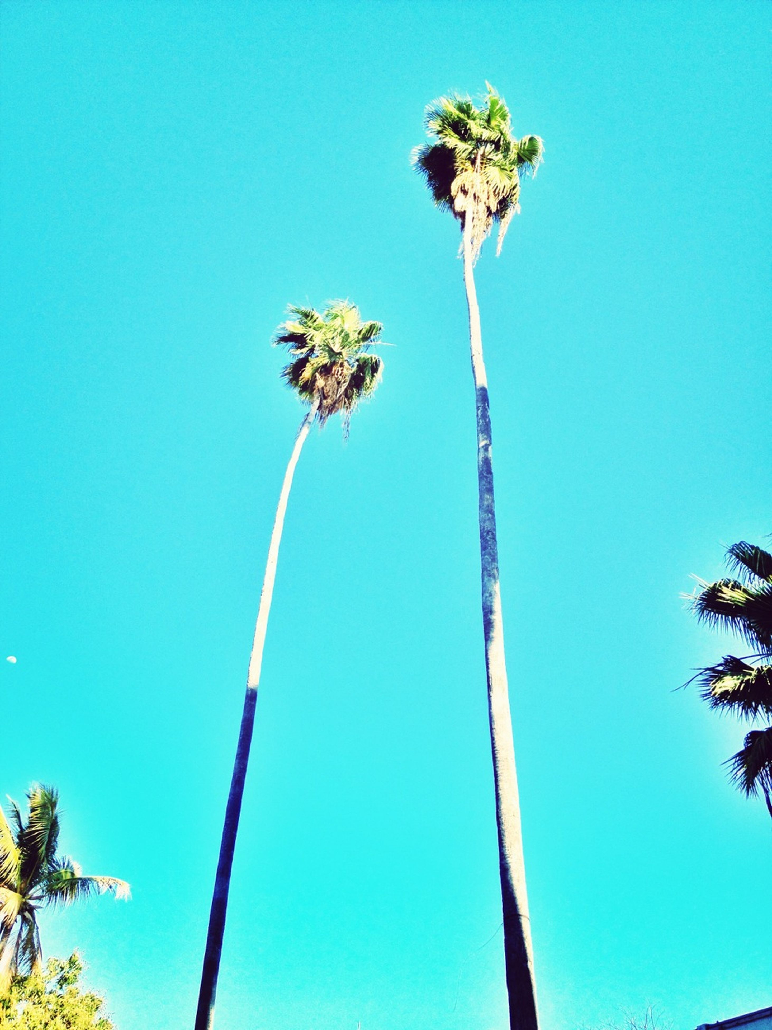 low angle view, clear sky, blue, palm tree, tree, tall - high, growth, tree trunk, copy space, nature, coconut palm tree, tranquility, beauty in nature, outdoors, no people, day, tall, branch, sky, sunlight