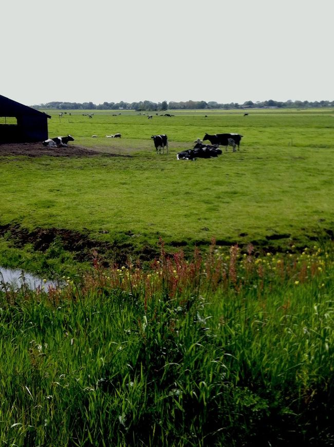 My Country In A Photo cow, sun, green, HOLLAND