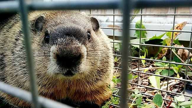 Groundhog Groudhogs Animals In The Wild Trapandrelease Thedilltheif Wildanimals Varmint Varmints