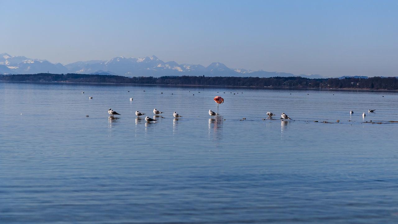 Hab schon besser fotografiert, aber wenn man schon mal einen Flamingo vor verschneiter bayerischer Alpenkulisse hat....... Bavarian Alps Beauty In Nature EyeEm Nature Lover Flamingo Flamingos In Water Lake Mountain Nature Outdoors Sky Water