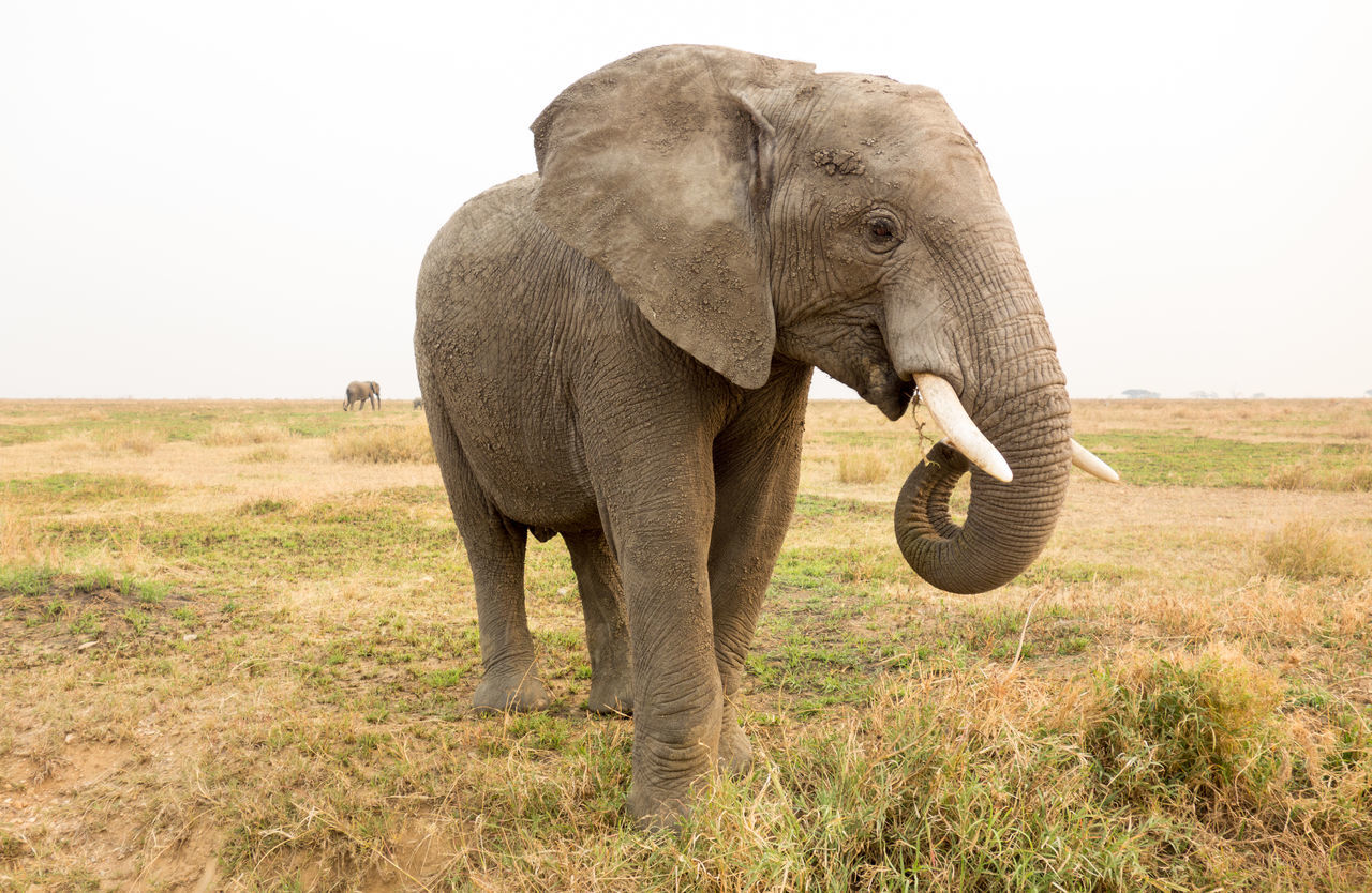Beautiful stock photos of elefant,  African Elephant,  Animal Themes,  Animal Trunk,  Animals In The Wild