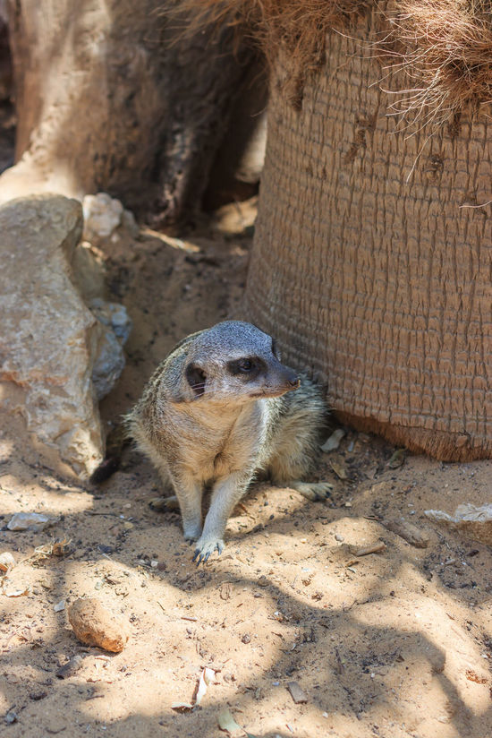 Meerkats sitting afternoon on the sand under the sun Afternoon Animal Themes Bun Collateral Desert Hill Isolated Looking Mammal Meerkat Motionless Mountain Mountains No People One Animal Outdoors Park Peck Relaxing Sand Squirrel Standing Sun Zoo Zoology