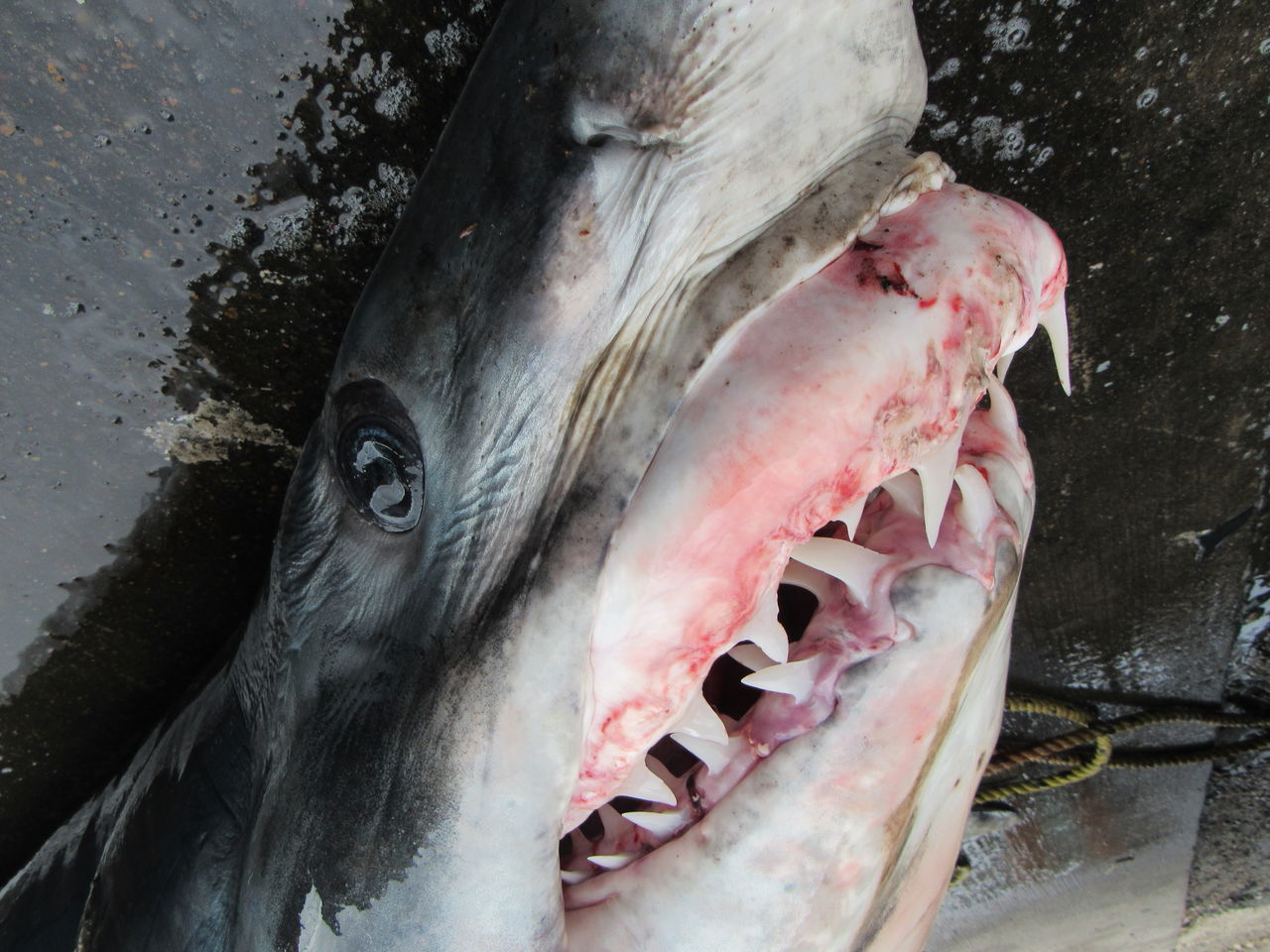 632 Pounds Animal Body Part Animal Eye Animal Head  Animal Skin Close-up Large Mammal Mako Shark Marine Life Outdoors Razor Teeth Research And Development Sand Paper Skin