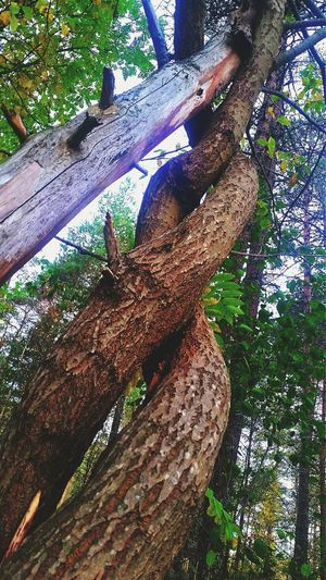 Day Tree Growth Outdoors Low Angle View Nature Low Section Close-up No People Wallpaper EyeEm Selects Nature Beauty In Nature Tree Bark Trees! Twine Twined Perspectives On Nature