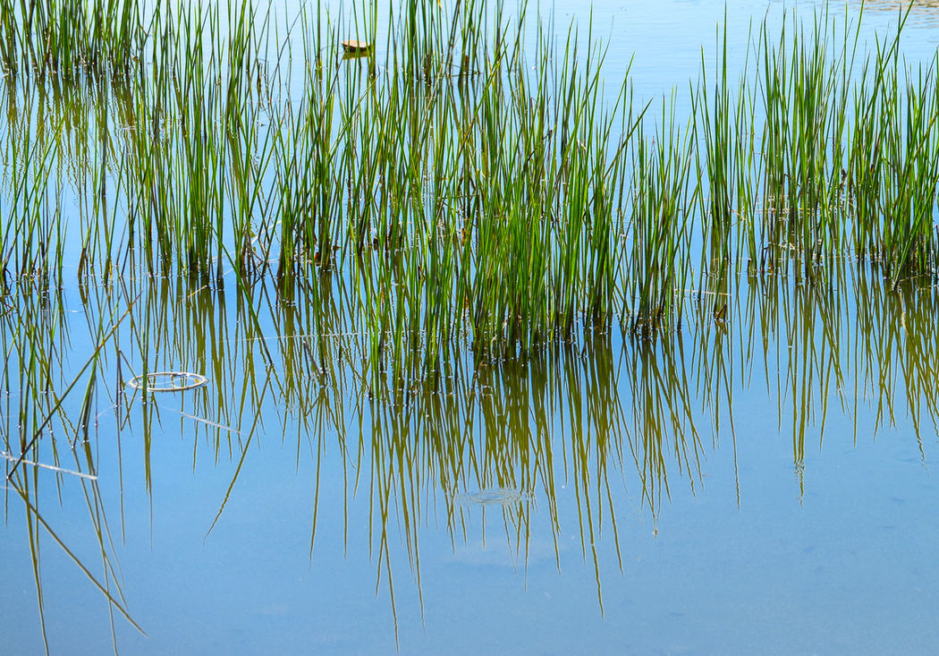 grass in water Beauty In Nature Grass Green Color Lake Lake Palace Udaipur Nature Nature No People Outdoors Tranquil Scene Tranquility Water
