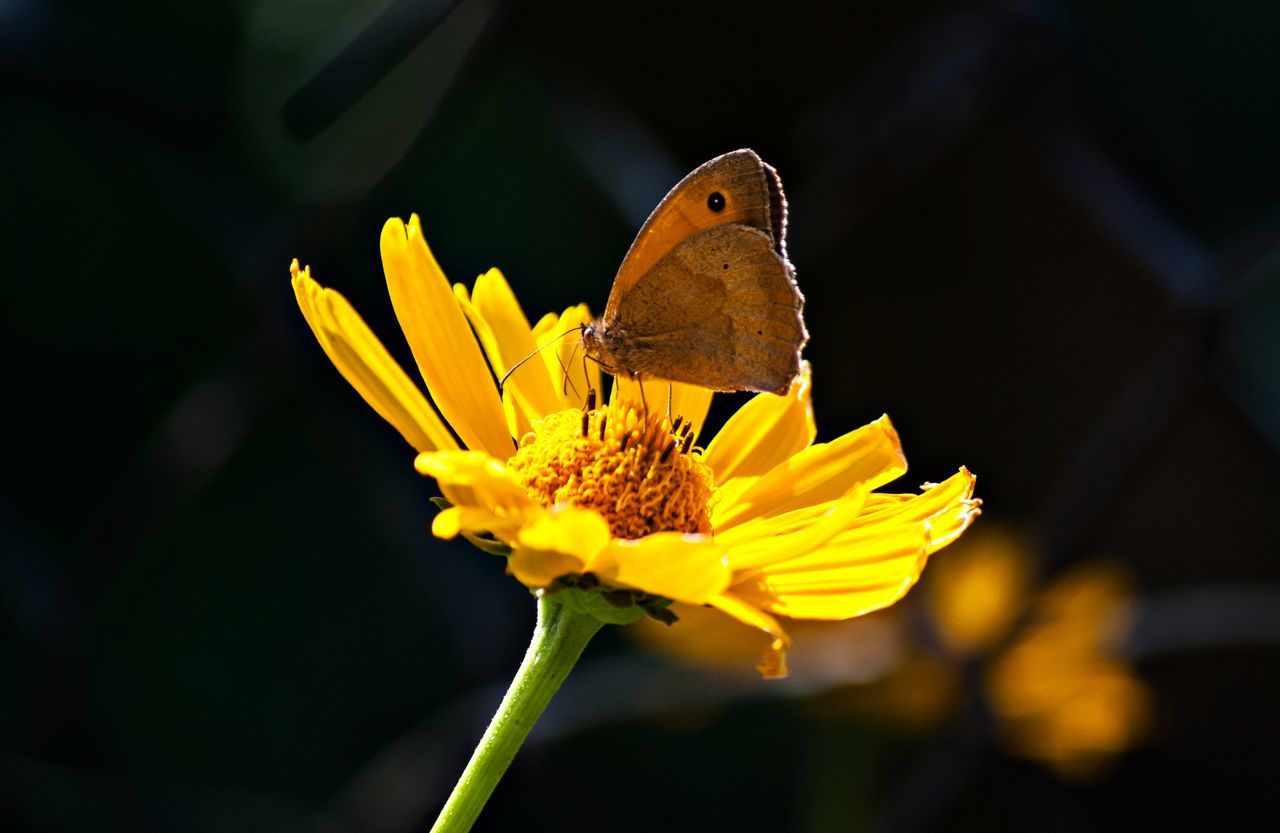 flower, one animal, yellow, animals in the wild, insect, animal themes, nature, fragility, plant, petal, no people, beauty in nature, outdoors, flower head, animal wildlife, focus on foreground, close-up, freshness, growth, perching, butterfly - insect, day, pollination