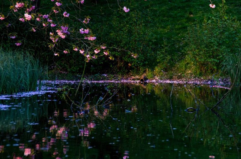 Dark water against the pale flowers works quite well I think. Beauty In Nature Cherry Blossoms City Evening Flower Fragility Glasgow  Golden Hour Kelvingrove Lake Landscape Nature No People Outdoors Park Hidden Gems  Pink Color Pond Reflection Scotland Tree Water The Great Outdoors - 2016 EyeEm Awards Colour Of Life Fine Art Photography