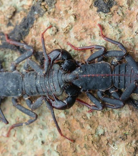 Close-up Outdoors Animal Wildlife Nature What Is Love? New Year 2017 Whip Scorpion Mating Porn Insects Porn