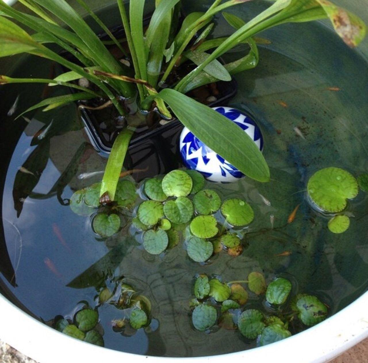 Rice-fish Fish Biotope めだか めだか 水鉢 ビオトープ