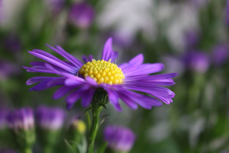 Flower Fragility Flower Head Purple Close-up Beauty In Nature In Bloom Nature Focus On Foreground Pollen Single Flower Blossom Plant Herbstaster Indoors  Depth Of Field No People Vibrant Color