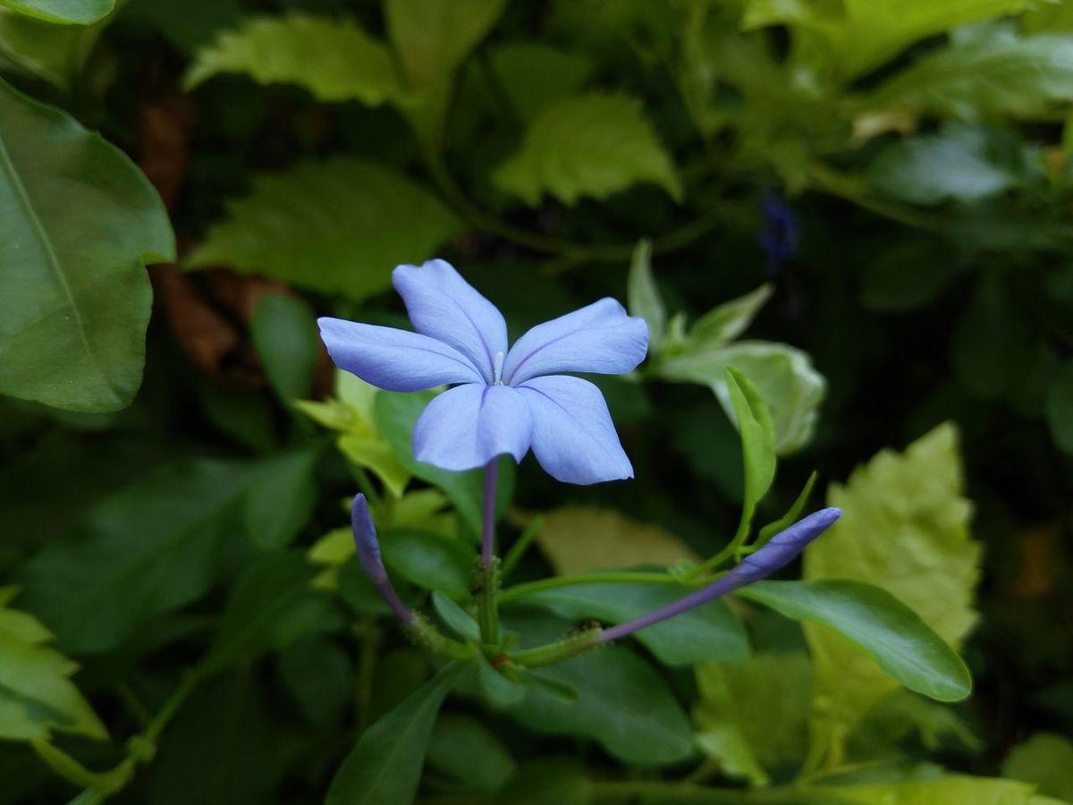 Plumbago Auriculata White Plumbago Cape Leadwort Violet Purple Flower Nature