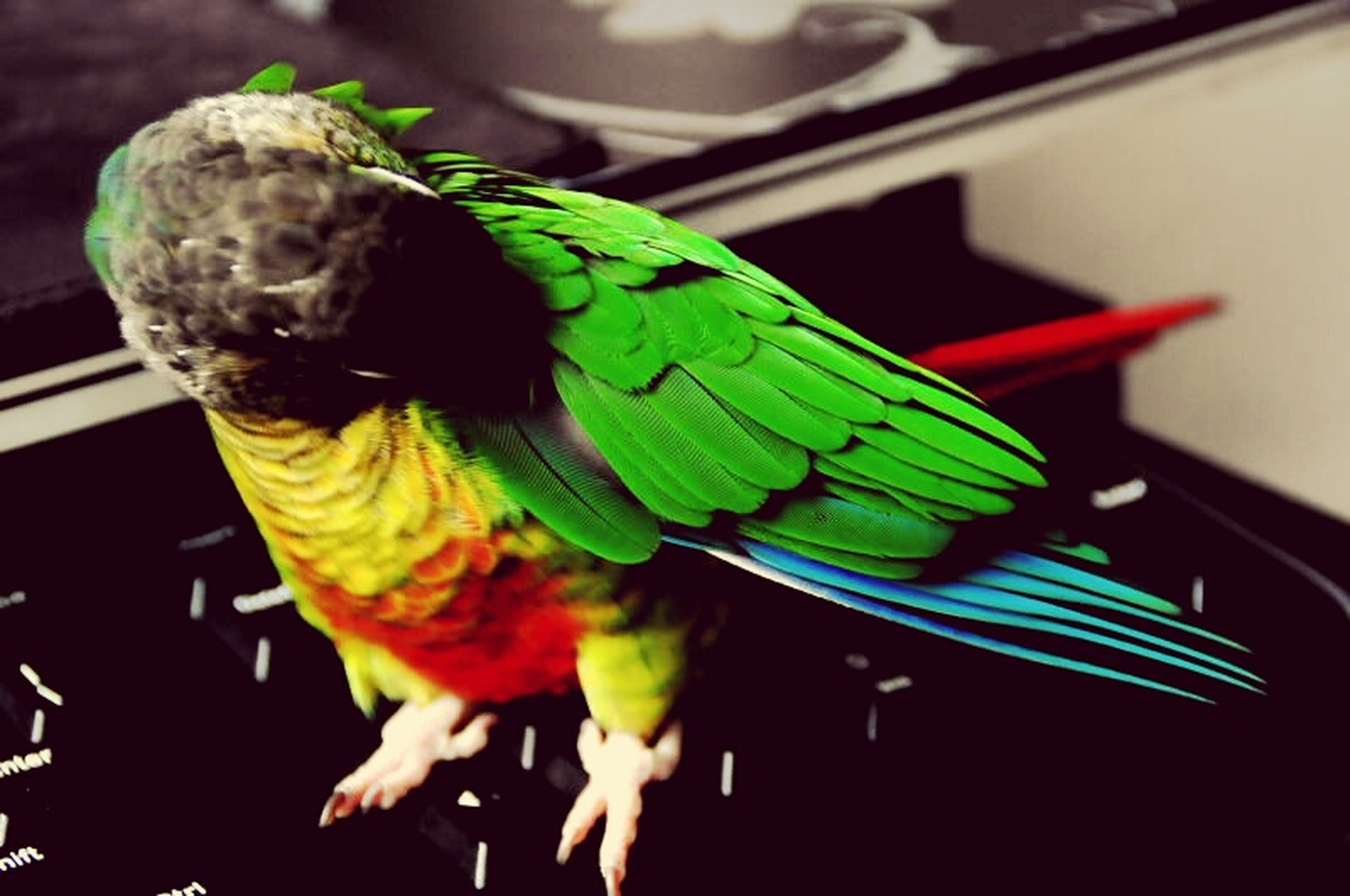 animal themes, one animal, indoors, animals in the wild, wildlife, close-up, focus on foreground, insect, full length, green color, leaf, selective focus, multi colored, no people, side view, day, nature, perching, animal representation, parrot