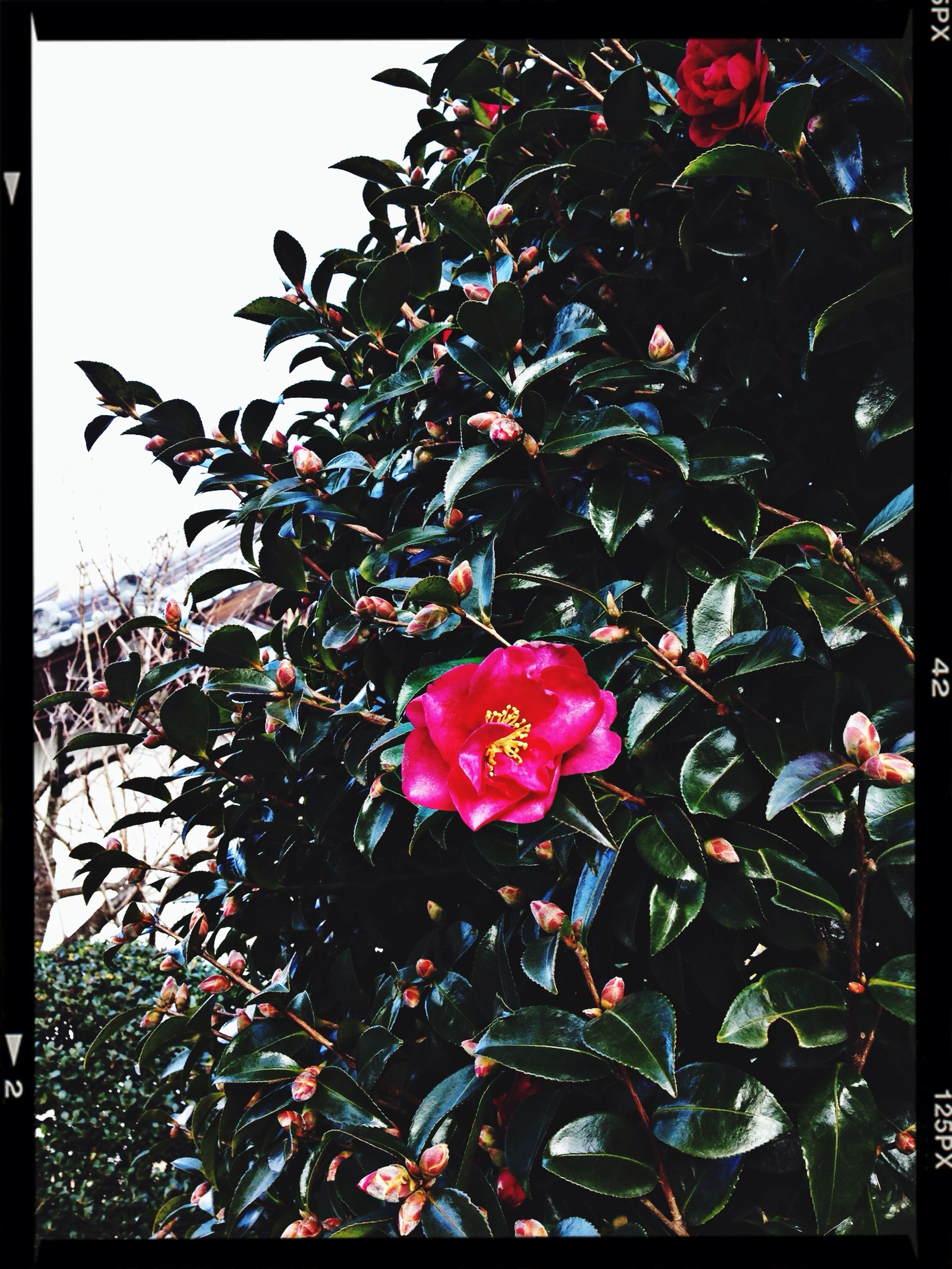 transfer print, flower, auto post production filter, petal, fragility, growth, freshness, pink color, leaf, beauty in nature, flower head, plant, nature, blooming, close-up, rose - flower, in bloom, outdoors, day, blossom