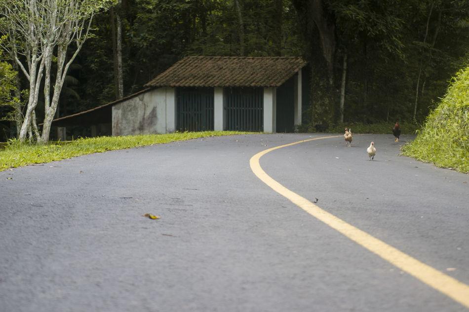 Chickens Chicken Chickens Day Galinha Galinhas Nature Outdoors Road The Way Forward Tree