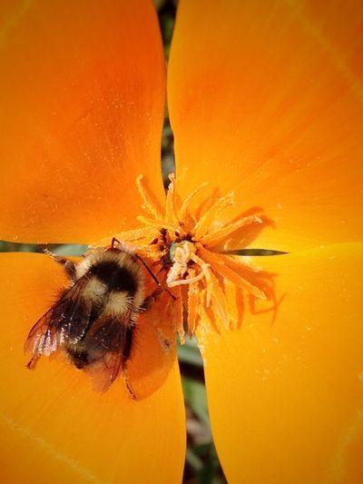 IPS2016Closeup Macro Poppy Bees