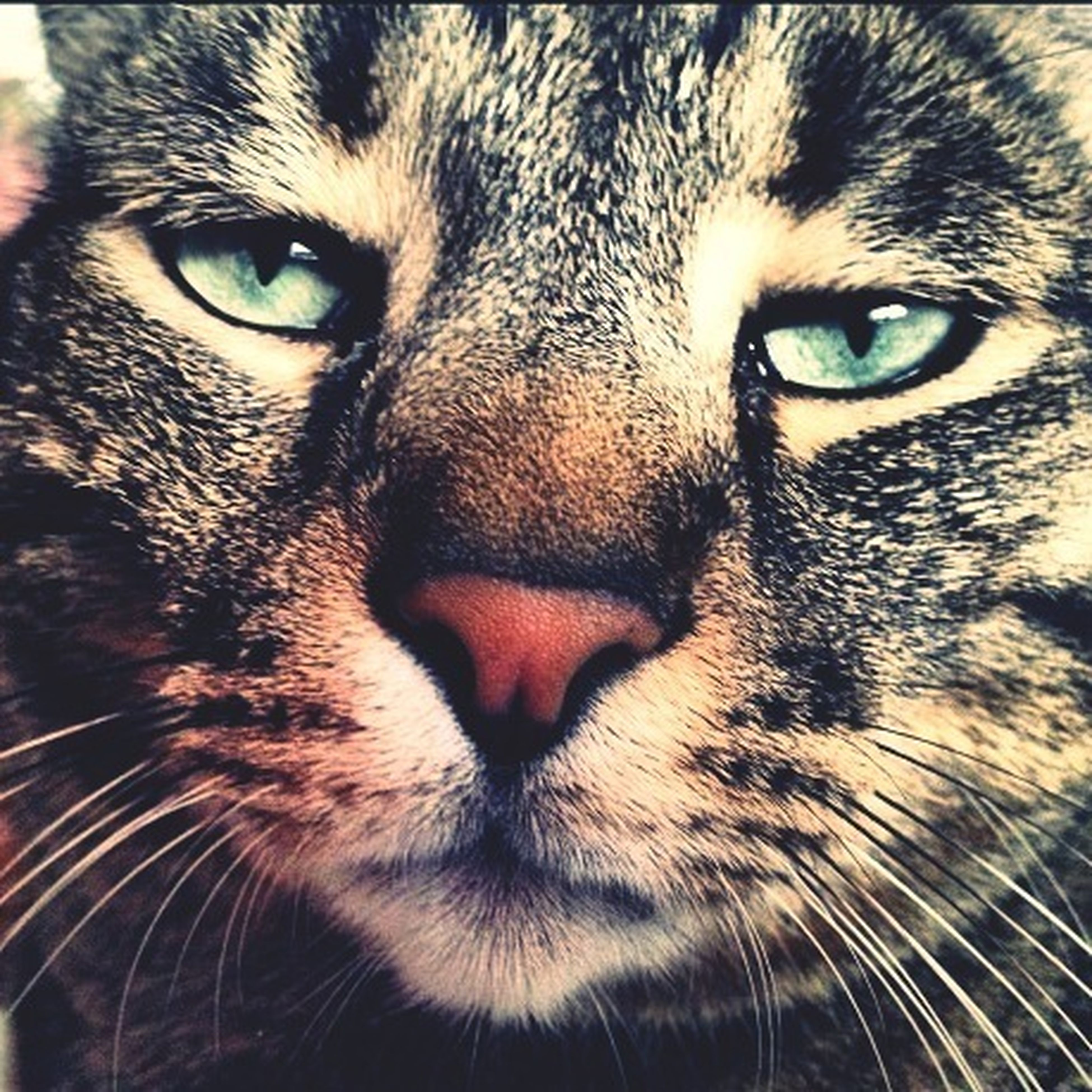 animal themes, one animal, pets, domestic animals, mammal, animal head, portrait, close-up, looking at camera, animal body part, whisker, animal eye, focus on foreground, snout, domestic cat, feline, part of, cat, no people, front view