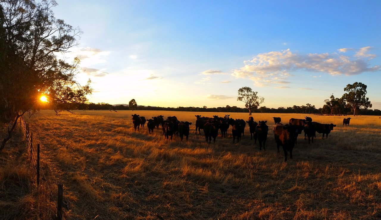 (Day Three: Down Under) Golden Hour Black AngusCattle Sunlight Nature Blue Sky Sunset Silhouette The Great Outdoors - 2017 EyeEm Awards Beauty In Nature Outdoors Day EyeEm Best Shots - Nature EyeEm Nature Lover Exceptional Photographs Australian Landscape Australian Photographers Sunset Silhouettes Eye4photography  Eucalyptus Tree Black Angus Beef Grampians Australia Travel Destinations