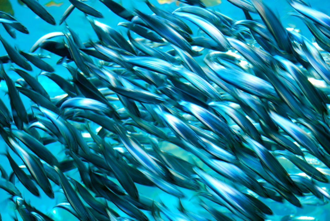 follow your dreams Abundance Freshness Little Blue Fishes Swimming Natural Pattern Nature's Abundance Sardines Sea Life Speed UnderSea Fine Art Photography