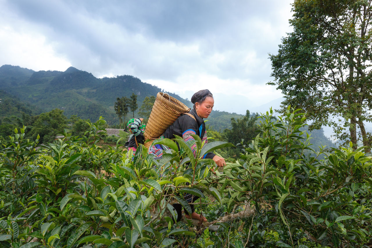 Hoang Su Phi, Ha Giang province, Vietnam - September 25, 2016 : Ethnic women havest tea leaves in the early morning on centenary tea tree with bamboo basket behind in colorful costumes Agriculture Asian  Background Basket Beauty In Nature Clothing Community Countries Cultivation Environment Ethnic Family Farmer Havesting Headdress Herbal Indigenous  Minority Mountain Outdoors People Picking Tea Tea Pickers Traditional