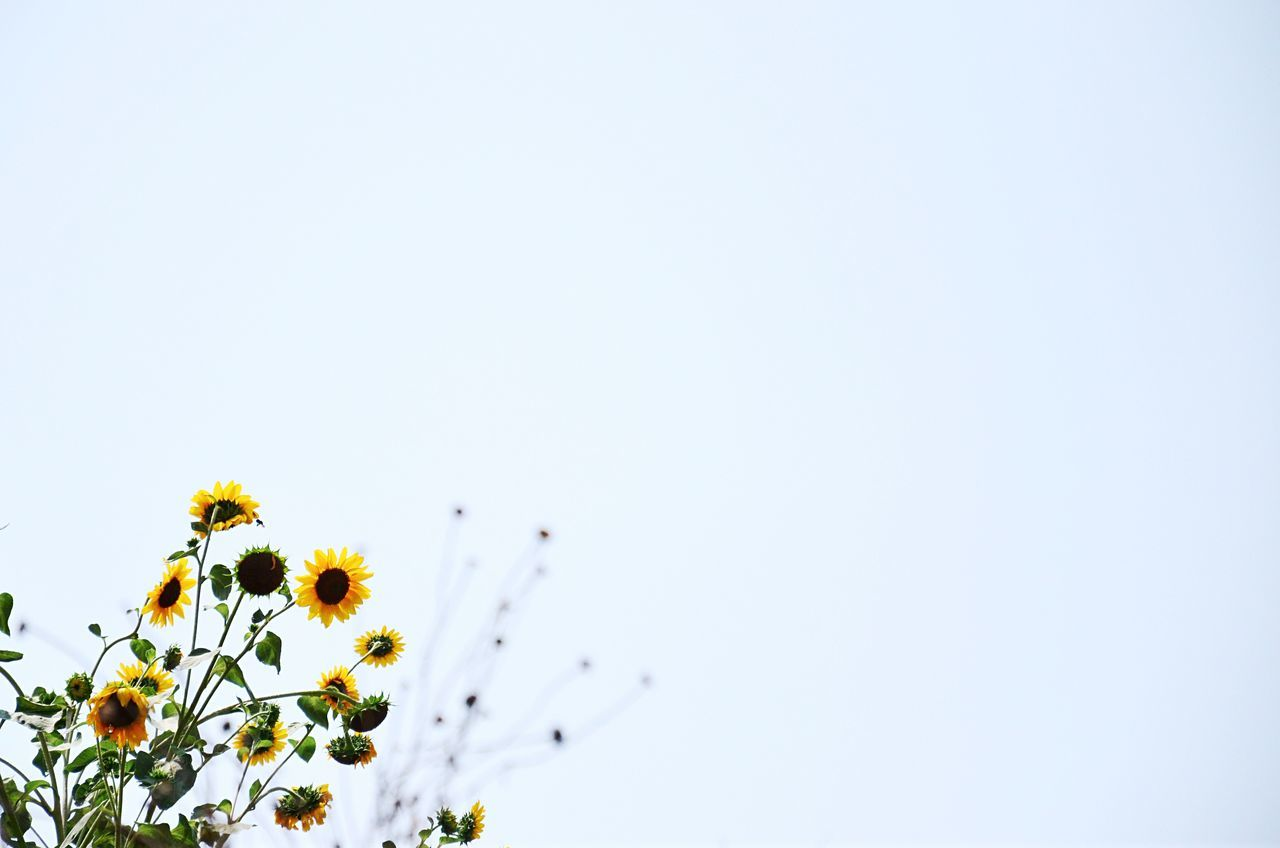 Beautiful stock photos of sunflower, Beauty In Nature, Clear Sky, Copy Space, Day