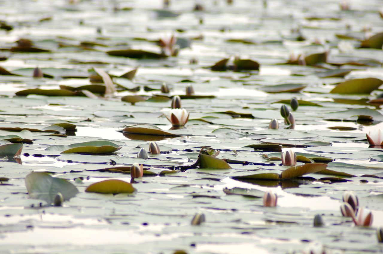 Water Lily Field Nature Photography Floral Bloom Waterscape Growth Showcase:June Beauty In Nature Balance Perfection