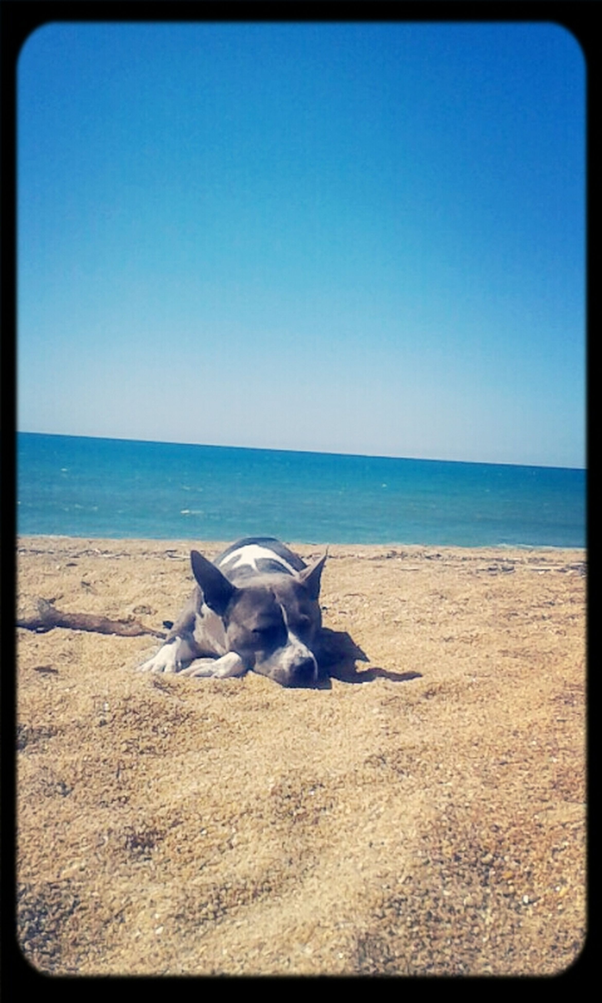 transfer print, sea, horizon over water, clear sky, auto post production filter, animal themes, one animal, beach, copy space, blue, water, domestic animals, pets, dog, sand, shore, tranquility, tranquil scene, nature, mammal