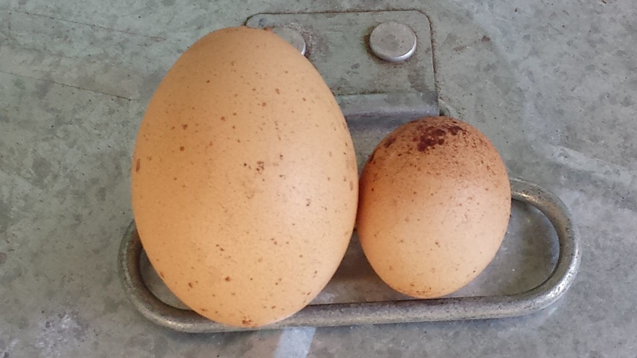 Backyard Chickens Chooks Egg Sizes Eggs Compare Eggs... Galvanised Iron Hens Isa Brown Laid Back Large Egg No People Rubbish Bin Speckled Eggs Tiny Egg Trashcan